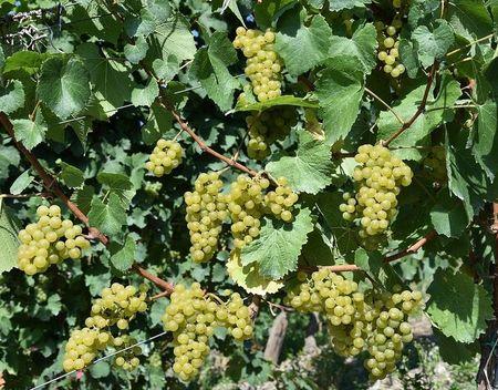 druiven(1)