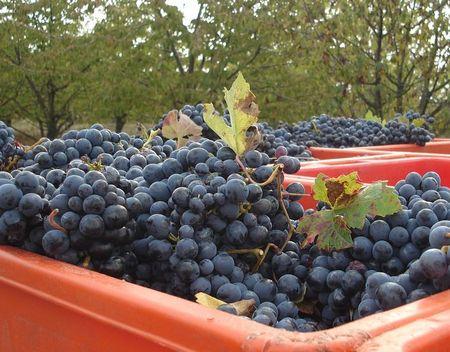 druiven(3)